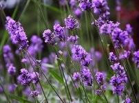 lavender helps induce sleep